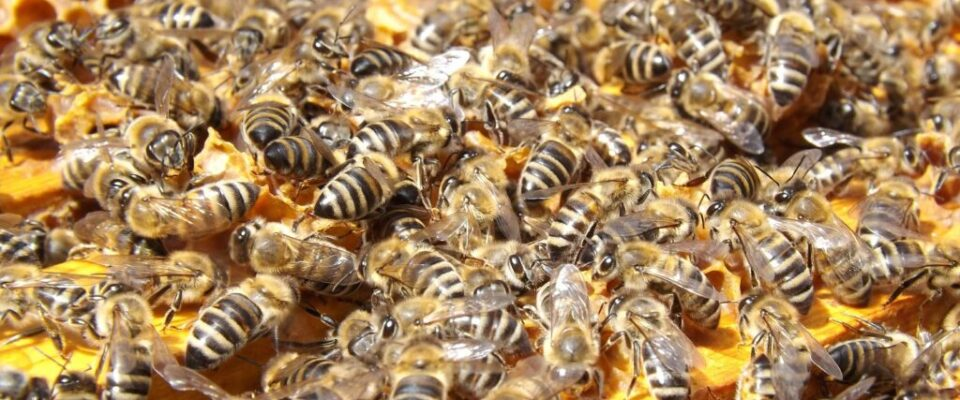 bees-486872_1920